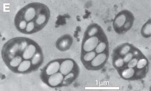 Bacterias que viven en el arsénico. Foto: NASA
