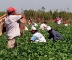 Inmigrantes realizan labores agrícolas