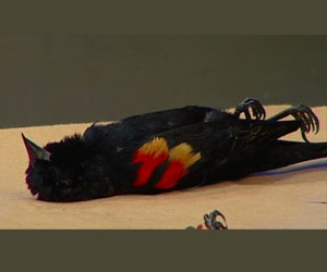 Masiva muerte de aves al sur de EEUU por segundo año consecutivo Muerte-pajaro