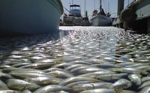 Millones de peces muertos en Kirg Harbor, de Redondo Beach (California) Foto: Los Angeles Times