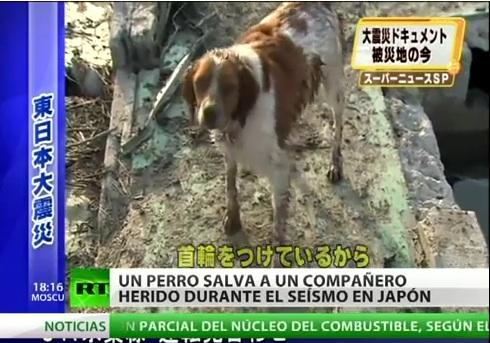 El perro que ayuda a un compañero herido después del terremoto y tsunami de Japón