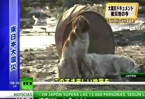 un perro que ayuda a un compañero herido después del terremoto y tsunami de Japón