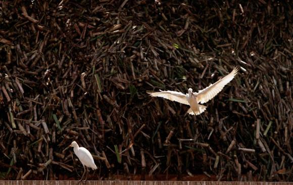 Unos pájaros se disputan una rana que salta entre un montón de caña de azúcar en el complejo