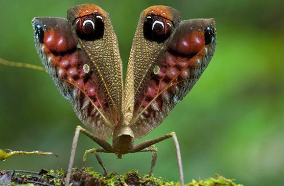 Saltamontes pavo real, Pterochroza ocellata, en Guyana.