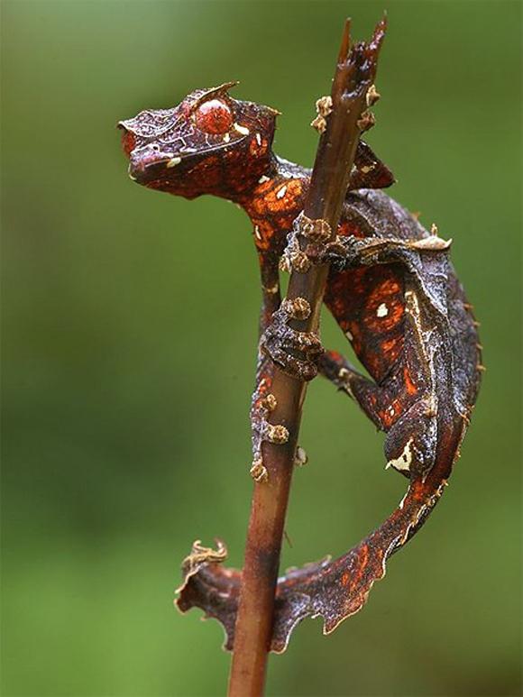 Gecko satánico cola de hoja (Uroplatus phantasticus), un pequeño reptil nocturno endémico de Madagascar de apariencia diabólica, con un extraño camuflaje.