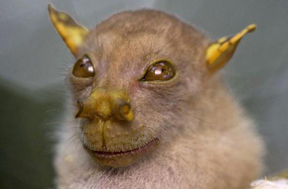 """""""Murciélago Yoda"""", un murciélago de la fruta de nariz tubular cuyo nombre científico es Nyctimene sp. Vive en Papúa Nueva Guinea."""