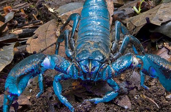El escorpión emperador (Pandinus imperator) es uno de los más grandes del mundo. Contiene unos pigmentos que lo tiñen de color azul verdoso bajo la luz ultravioleta. Los científicos estudian componentes de su veneno para tratar las arritmias.