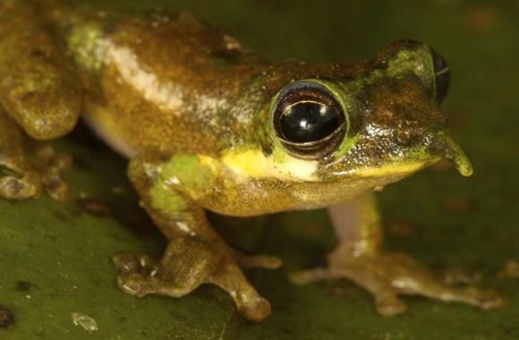 Rana Pinocho, Litoria sp. descubierta en la expedición a las montañas Foja de Indonesia. La rana es bastante llamativa, pues su nariz, que apunta hacia arriba, se desinfla cuando el animal tiene menos actividad.