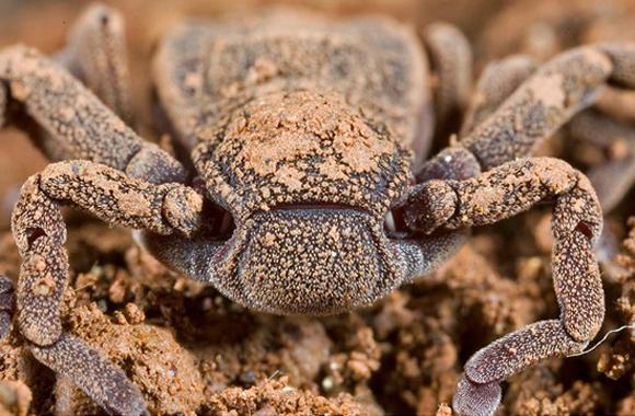 La dinoaraña (Ricinoides atewa) es un arácnido que mide sólo 11 milímetros y se encontró durante una expedición en 2006 a la Reserva Forestal de Atewa Ghana. Su aspecto parece híbrido entre una araña y un cangrejo. Pertenece a un linaje de animales que ha permanecido sin cambios desde el Carbonífero, es decir, durante 300 millones de años.