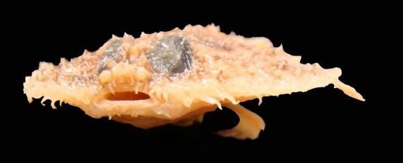 Intermedius Halieutichthys