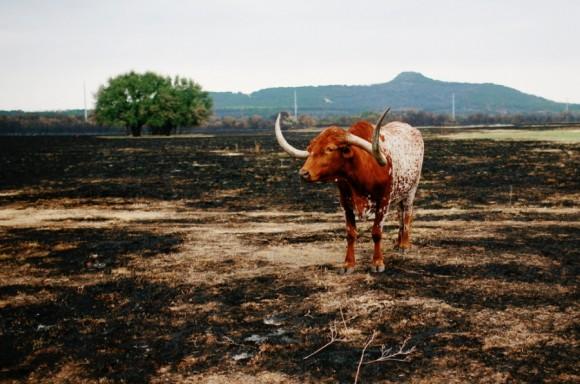 Un toro de cuernos largos se encuentra en un pasto quemado cerca de Graford, Texas, el 24 de abril. | Foto: Tom Pennington/Getty Images