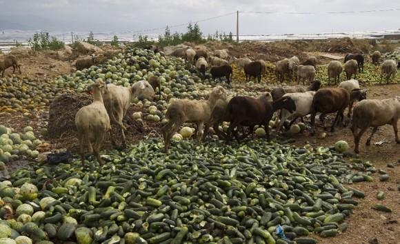 Los agricultores han arrojado a las cabras los pepinos que no pueden exportar. Foto: El País