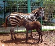 El reciente nacimiento de un cebrasno, híbrido de cebra y asno, incrementa los atractivos del Zoológico de Ciego de Ávila y reafirma los avances del centro en la reproducción de especies. 6 de julio de de 2011.    AIN FOTO/ Osvaldo GUTIERREZ GOMEZ
