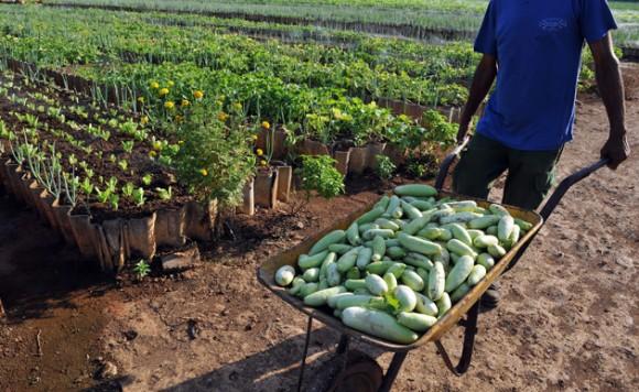 Cuba agricultura urbana Foto: Alejandro Ernesto/ EFE