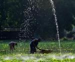 Cuba agricultura urbana. Foto: Alejandro Ernesto/ EFE