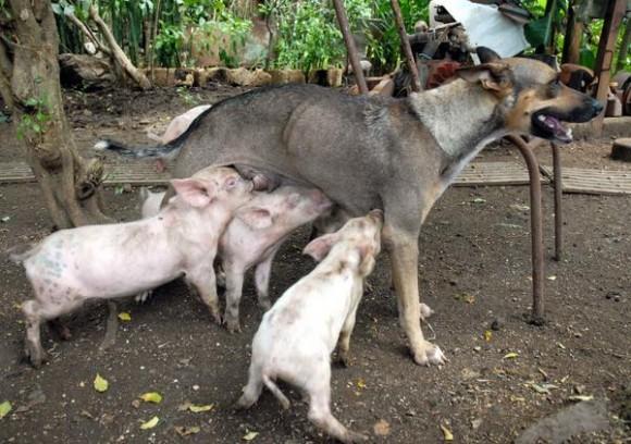 Yeti, una perra criolla criada en un barrio camagüeyano ha tomado en adopción cerditos que amamanta y cuida con esmero, en Camagüey,  el 23 de agosto de 2011.   AIN FOTO/Rodolfo BLANCO CUE/