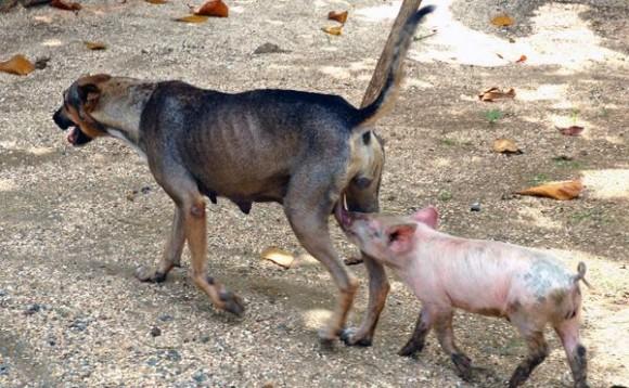 Yeti, una perra criolla criada en un barrio camagüeyano ha tomado en adopción cerditos que amamanta y cuida con esmero, en Camagüey,  el 23 de agosto de 2011.   AIN FOTO/Rodolfo BLANCO CUE