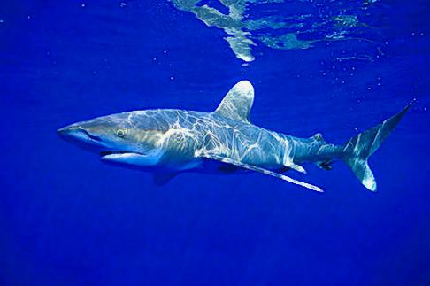 Tiburón Blanco. Foto: Blog de Diana Nyad, Xtreme Dream