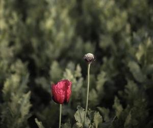 Campos de opio en Afganistán