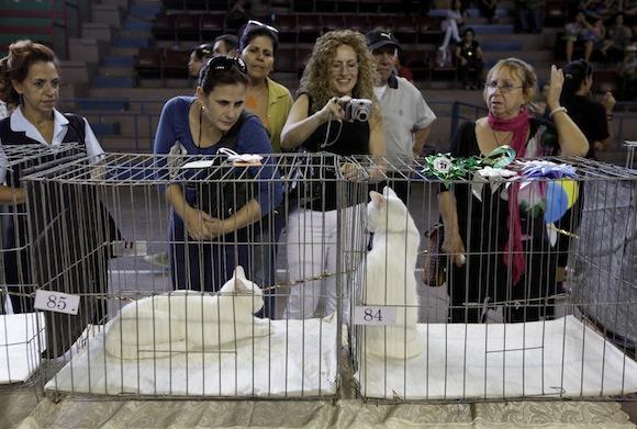 Exhibición realizada el 18 de diciembre en La Habana, donde participaron mas de 150 expositores con diferentes razas de estos animalitos. Foto: Enrique de la Osa/ Reuters