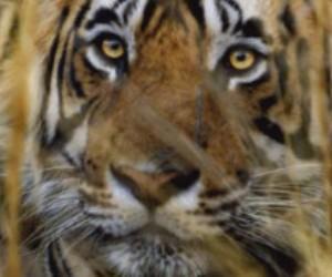 tigre-de-la-india
