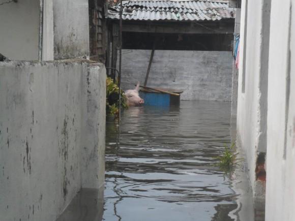 ¿Y a mí quién me salva? Diría el cerdito en el patio de esta casa, tras la inundación provocada por el tornado en la ciudad de Pinar del Rio