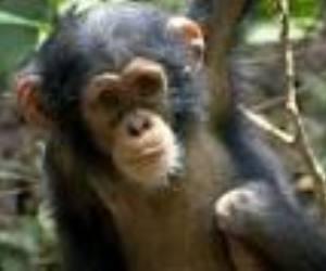 chimpance-bebe