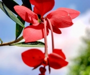 El Jazmín del Pinar (Euphorbia podocarpirolia) considerada la Flor de Holguín, es una planta endémica que crece en el Parque Nacional Pico Cristal, de la provincia de Holguín, Cuba, el 13 de abril de 2012. AIN FOTO/Juan Pablo CARRERAS.