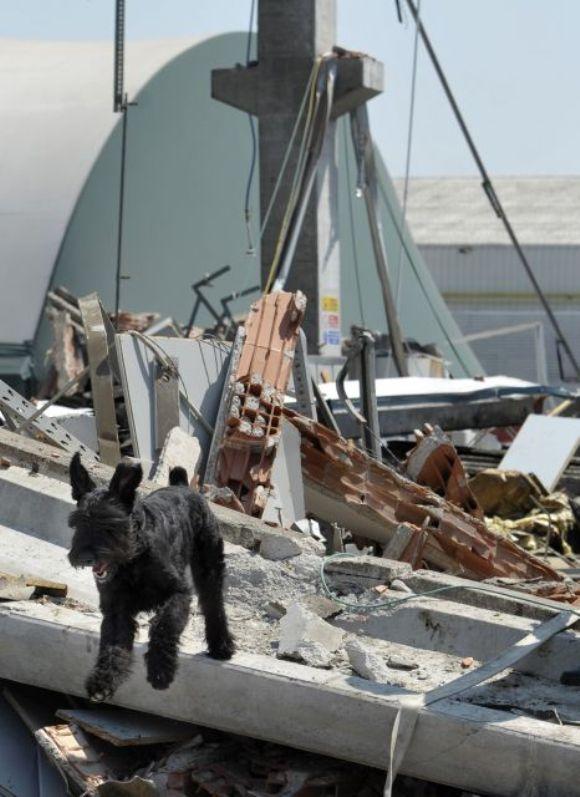 Un perro camina entre los escombrosos de un fábrica de Mirandola que se derrumbó tras el terremoto