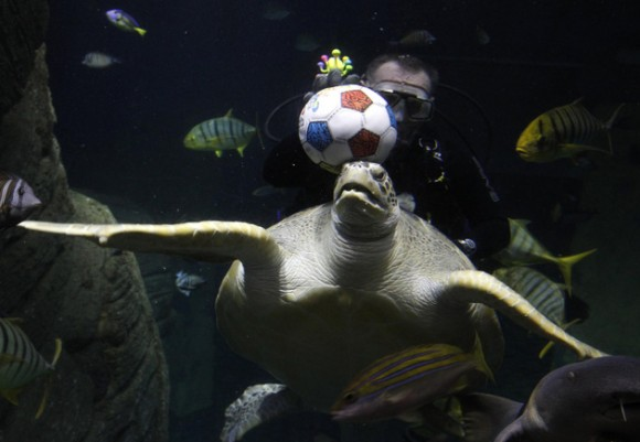 La  tortuga Gonzales juega bajo el agua con un buzo en el acuario Sealife en Munich 17 de mayo 2012
