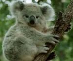koala-en-peligro-de-extincion