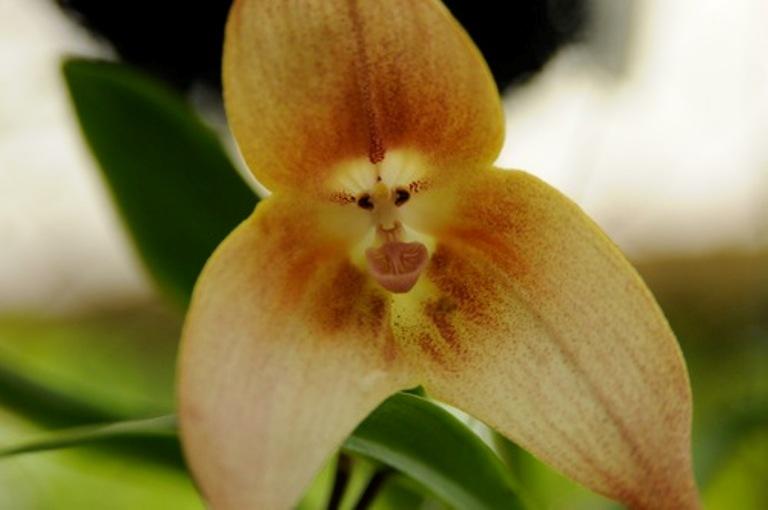 orquidea-cara-de-mono-dracula-simia-2