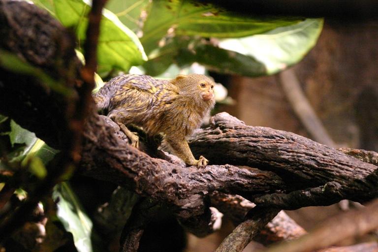 Callithrix pygmaea o monos de bolsillo