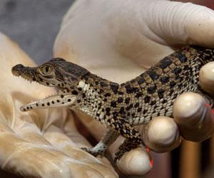 Dos cocodrilos nacen en Zoológico de Washington