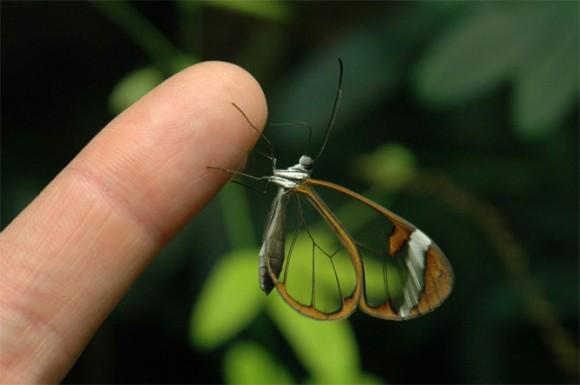 La mariposa diurna del género Greta