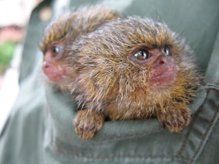 Monos de bolsillo en Sudamérica