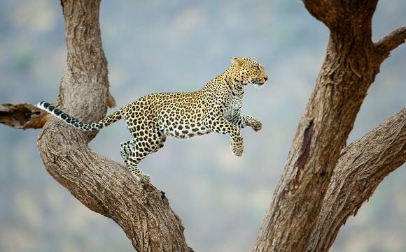 Leopardo africano saltando en u árbol en la Reserva Nacional de Kenya Samburu. Foto: © Juan Hernandez/Concurso de fotografía National Geographic Traveler