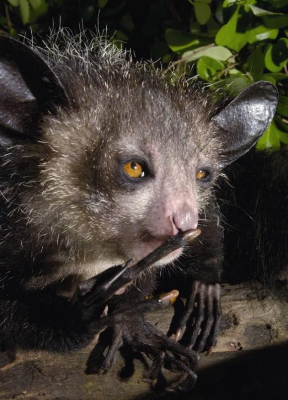 El lemur Aye-aye (Daubentonia madagascariensis), por supuesto, de Madagascar, uno de los bichos más raros del mundo..