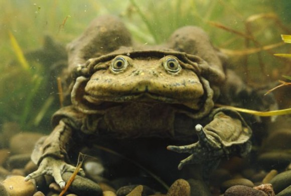 La rana del lago Titicaca Que Muestra Pliegues AMPLIOS de La piel que ayudan Con La absorción de Oxígeno