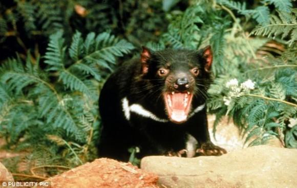 El tristemente célebre demonio de Tasmania tiene una de las mandíbulas más fuertes del reino animal