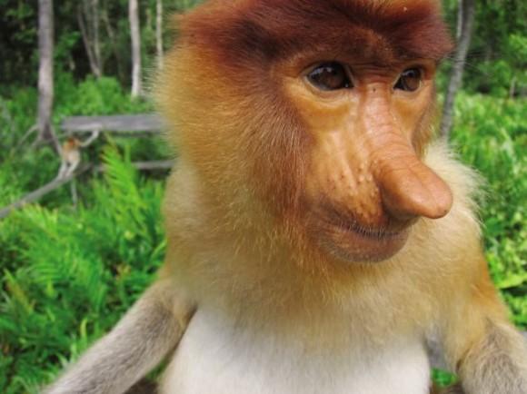 Mono narizón que cuenta con una enorme panza y un pene de colores.