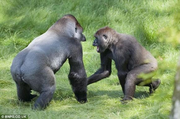 Dos gorilas hermanos, separados hace tres años, se emocionan con el reencuentro. Foto: Daily Mail