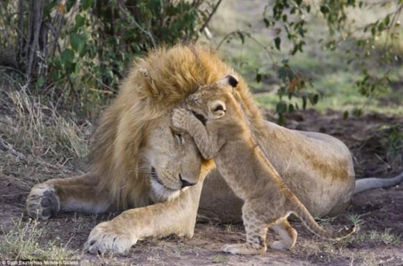 Espectaculares im genes hasta el le n se enternece cuando ve a su cr a cubadebate - Images de lions a imprimer ...