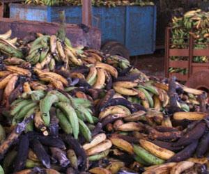 No es la primera vez que se pierden volúmenes importantes de la cosecha de plátano