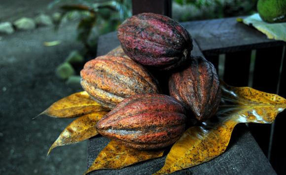 La mayor producción de cacao de Cuba se encuentra en Baracoa. Foto: Ladyrene Pérez/Cubadebate.