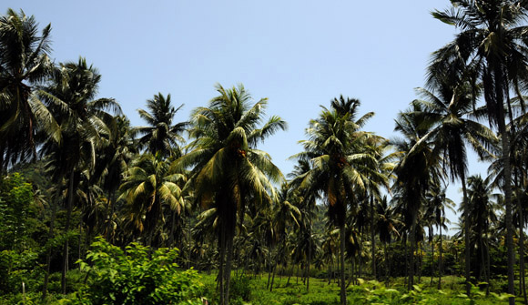 Los cocales forman parte del paisaje de Baracoa. Foto: Ladyrene Pérez/Cubadebate.