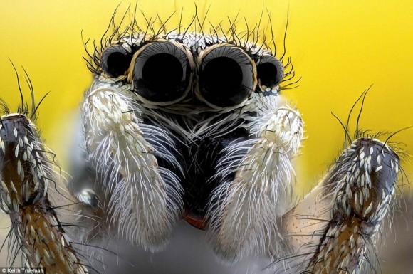 Araña saltarina. Salticus scenicus