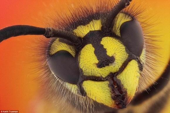 Avispa común. Vespula vulgaris