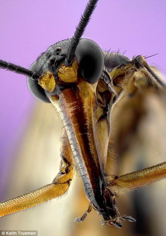 Mosca escorpión.