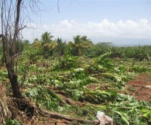 Plantaciones de plátano afectadas